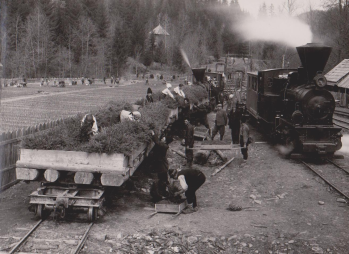 pepiniera-ardeluta-incarcarea-si-transportul-puetilor-cu-trenul-spre-locurile-de-plantatie